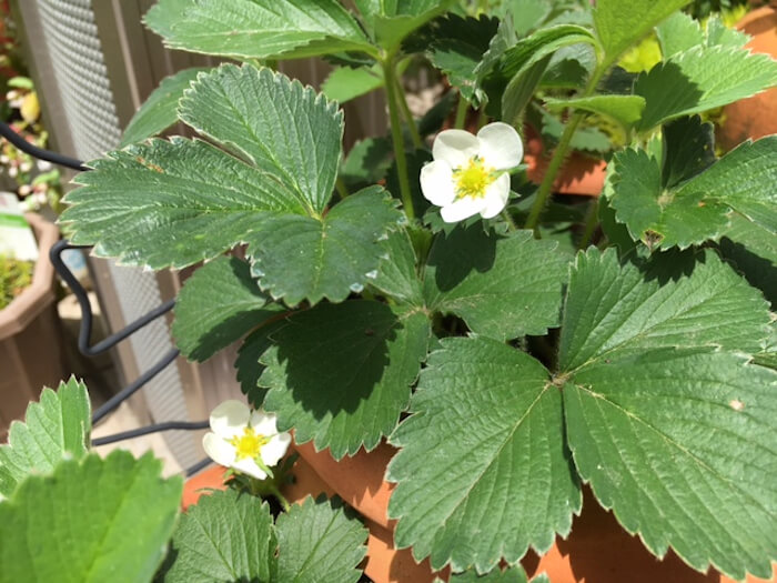 year to four times reap - open field strawberry cultivation - beautiful skin effect - two nutrients07
