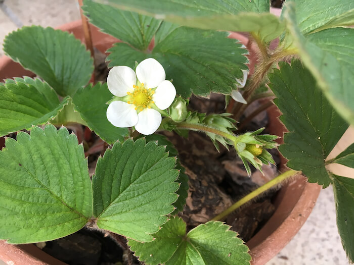 pest-control-and-management-of-the-summer-of-strawberry12