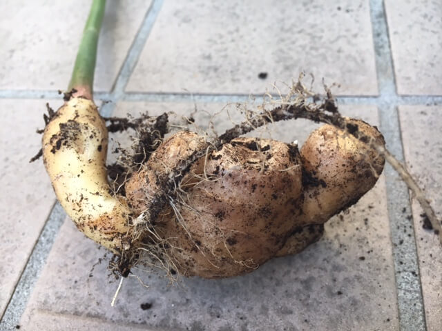 ginger-harvest-of-home-garden-october02