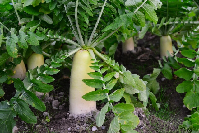 raw daikon works for beautiful skin and cold23